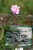 Rose cutting from bush grown by Elouisa Clerke.